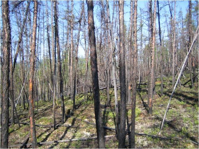 シベリア永久凍土地帯の火災後の森林 シベリア永久凍土地帯の火災後の森林 研究室教員 教授: 渡邊